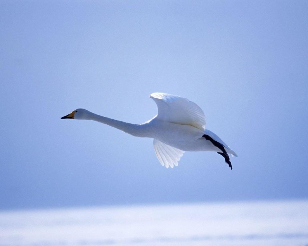 Flying Free Swan